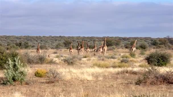 Un ghepardo dà la caccia a una jenny (aka allevamento) di giraffe in deserto namibiano