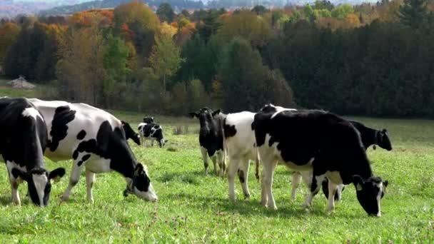 Holstein krávy se pasou na pastvině ve Vermontu