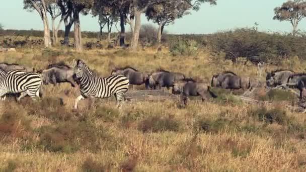 Zebry a Wildebeasts jsou vidět přes pláně