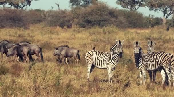 Zebras and Wildebeasts are seen walking across the plains