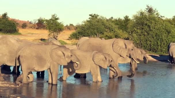 Eine Parade oder Elefantenherde trinkt aus einem natürlichen Wasserloch