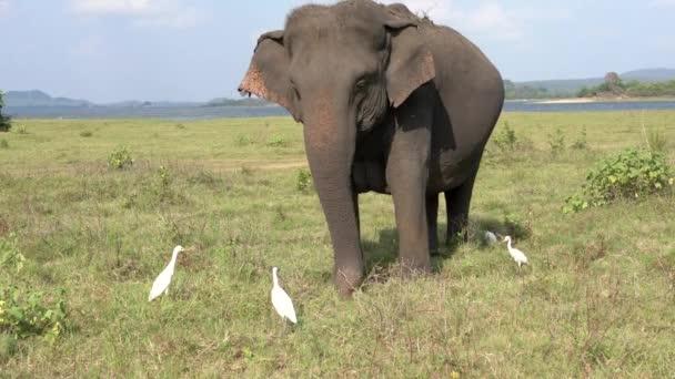 Elefant frisst Gras mit Reihern - Dreiviertelblick