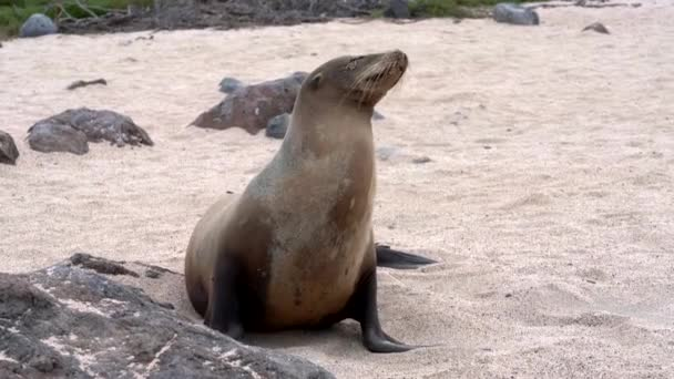 Galapagos sea lion walks from frame