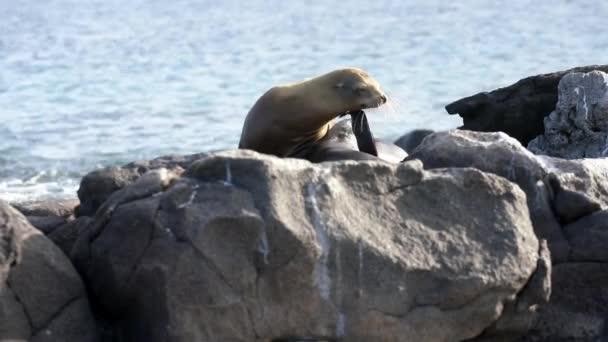Galapagos Seelöwe kratzt sich mit dem Flipper am Kinn