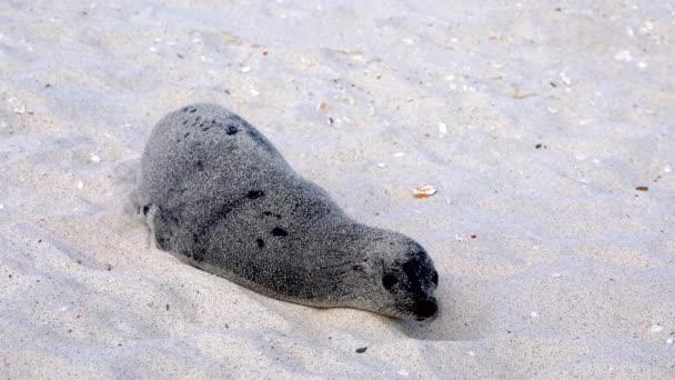 Galapagos tengeri oroszlán teljesen borított homok