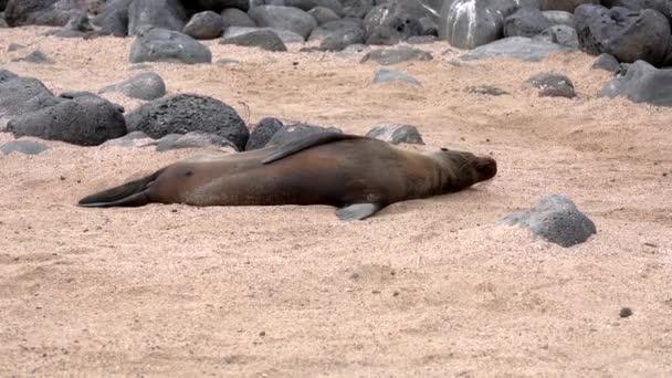 Mořský Lev Galapagos leží na písku a vlní ploutve