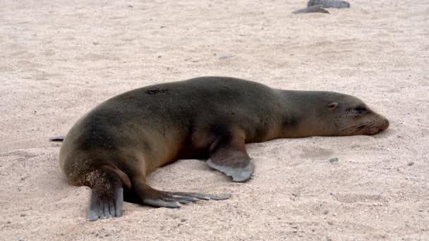 Při pokusu o spánek na písku se v Galapagos lvů