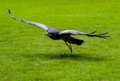 Schwarzbrust-Mäuseadler fliegt tief über Gras und nähert sich seiner Beute