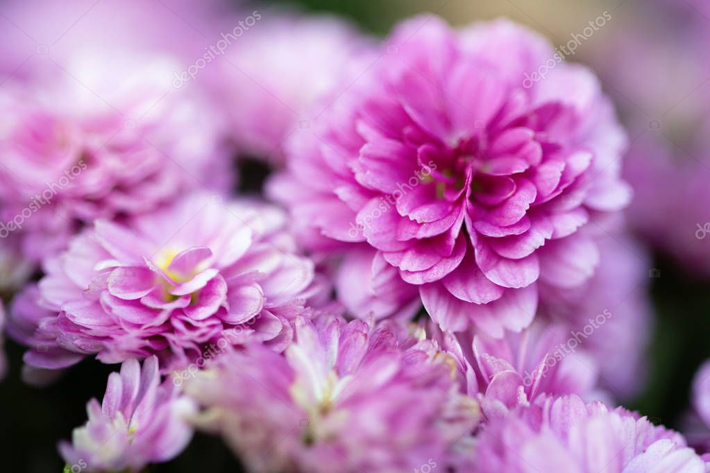 Beautiful pink chrysanthemums as background picture, chrysanthemums in autumn