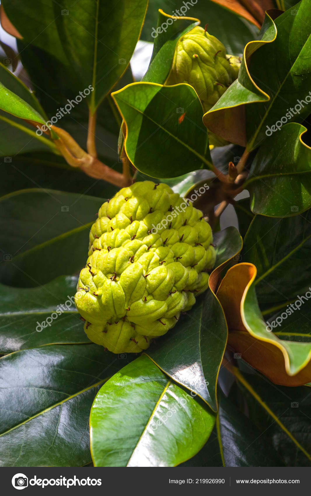 Magnolia Tree Exhibits Seed Pods Flora Stock Photo Samurkas