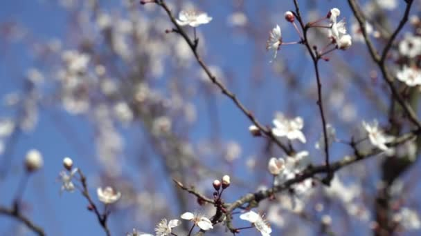 Beautiful flowering plum tree. Background with blooming flowers in spring day