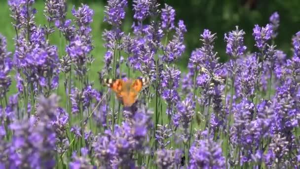 Motýl letící nad levandulovou květinou