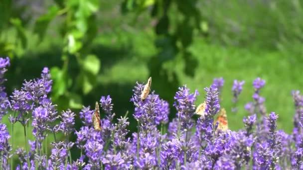 Pillangó repül át a levendula virág