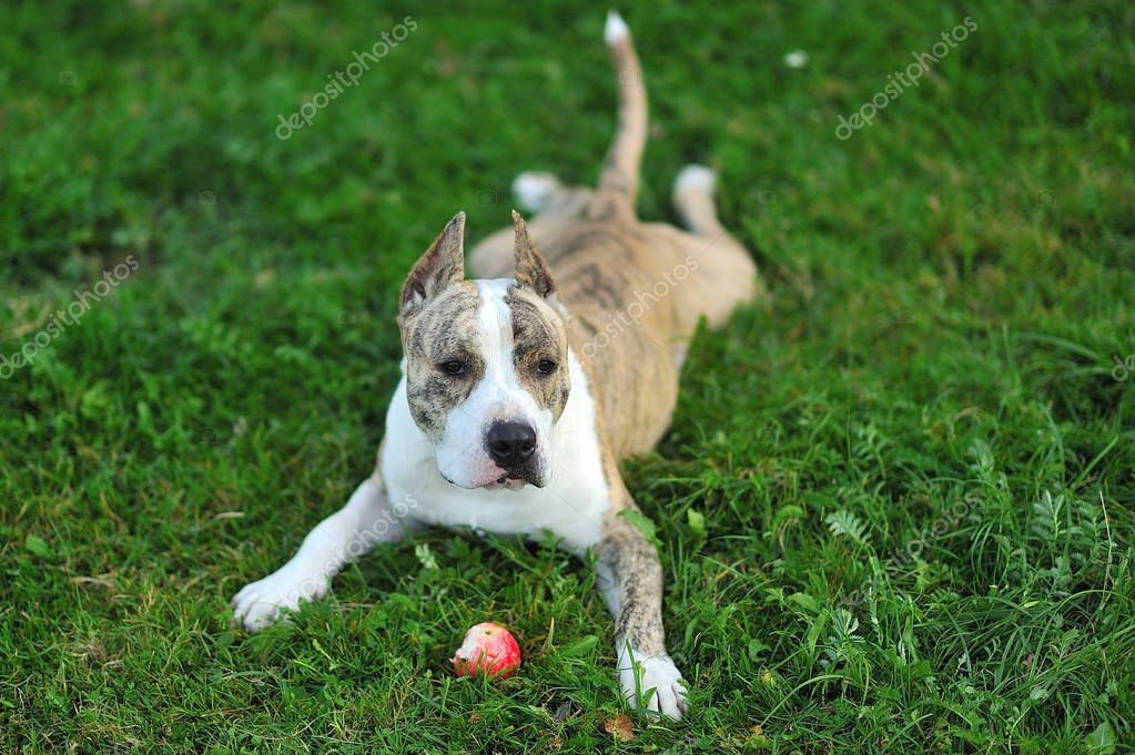 American Staffordshire Terrier on the grass.