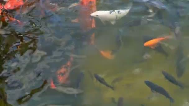 Absztrakt, úszás, színes ponty vagy Koi hal úszás úsztatóhoz vagy tóhoz. Divatos díszítő hal.