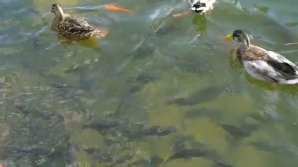 Abstraktní, plavání barevné kapra nebo Koi ryb plavání na rybník nebo jezero. Efektní dekorativní ryba.