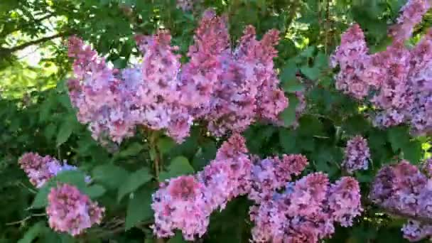 Blossom tree  branch of lilac, light purple color. Its flowers swinging in the wind. Blossom garden in spring. Close-up.
