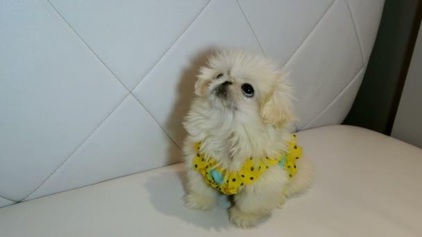 flauschiger weißer Pekinese-Hund schaut sich um und wartet auf ein Leckerli oder Zuneigung. Konzept des niedlichen kleinen Welpen. Nahaufnahme.