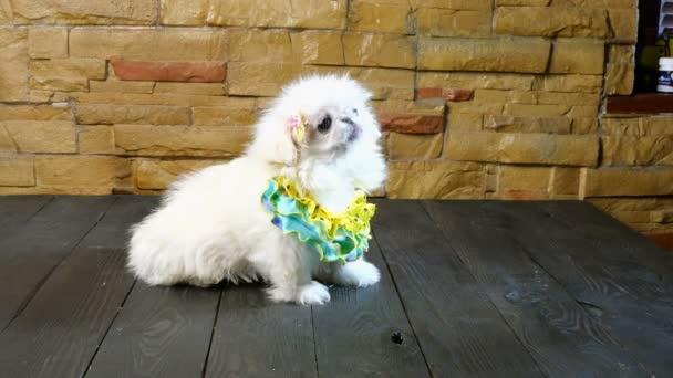 weißer, flauschiger Hundewelpe, der auf einem Holztisch sitzt, leckt und sich umschaut. Konzept des niedlichen kleinen Welpen.