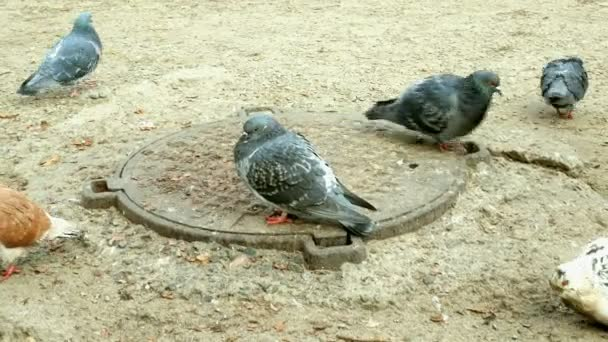 Pigeons walk on the ground in winter among manholes. They are looking for and pecking food.