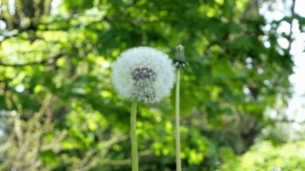 Bolyhos pitypang vagy Taraxacum officinale lengett a szél a gyepen a zöld háttér.
