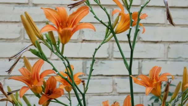 Bright orange lilies swaying in the wind against the background of a light brick wall. Close-up. Outdoors