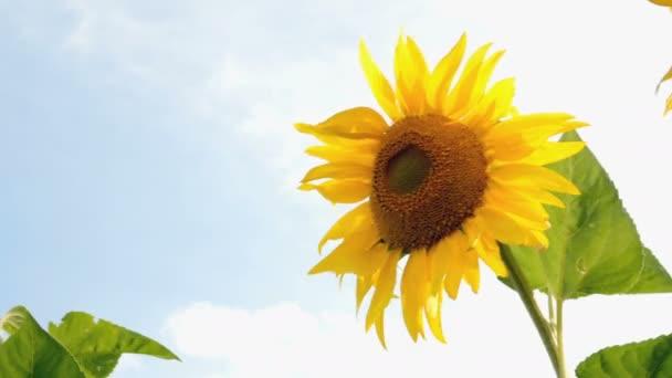 Kvetou Slunečné pole za jasného slunného letního dne se sluncem světlými podsvětelnými paprsky. Pozadí zemědělských květin.