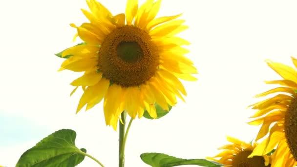 Virágzó napraforgók területén ragyogó napsütéses nyári napon a nap ragyogó háttérvilágítással. Mezőgazdasági virágháttér.