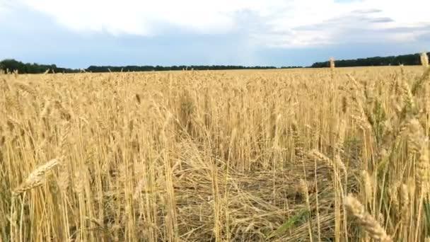 Búzamező. A búza érlelő fülei, rozs vagy más gabonatermő, a mezőn lengett a szél. Fogalma Rich szüret vagy a mezőgazdasági termelés. Szelektív fókusz.