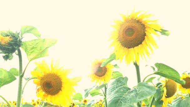 Kvetou Slunečné pole za jasného slunného letního dne se sluncem světlými podsvětelnými paprsky. Pozadí zemědělské květiny. Close-up.