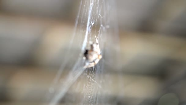 Spider hangs on a web and eats prey caught by it. This is a fly that is tangled in its web. Selective focus. Close-up.