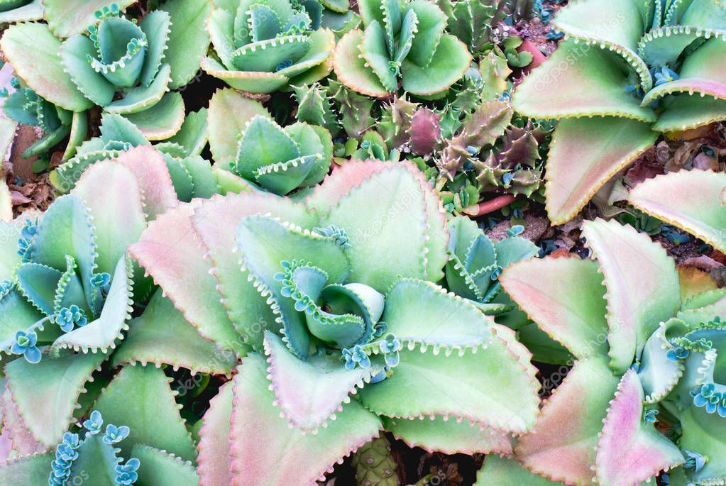 Close up of colorful succulent plant. Green nature wallpaper background.