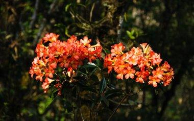 Ericaceae vireya rhododendron hybrid flower. It's called 1000 year rose at Doi Chang Mub Mae Fa Luang Arboretum.