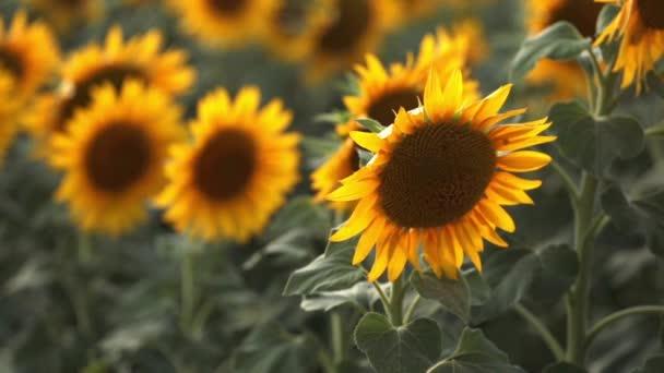 Slunečnicová pole při západu slunce