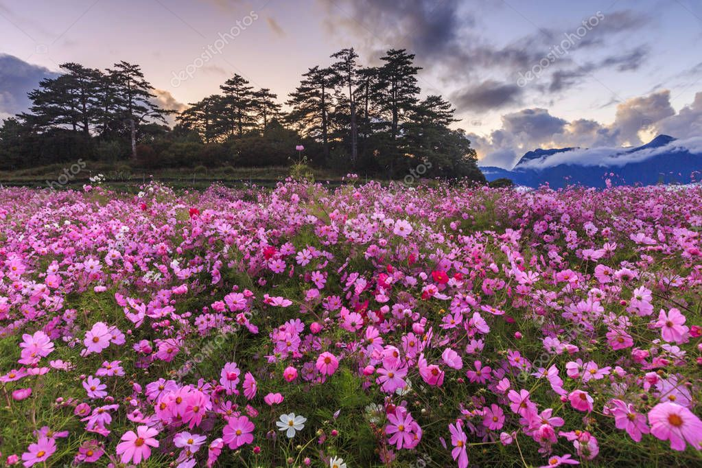 Pink flowers blooming on field under cloudy sky stock vector