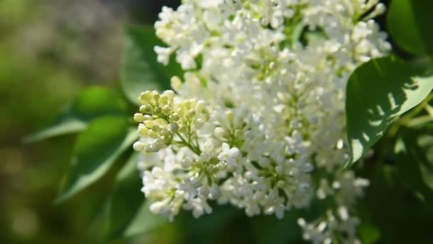 Beautiful blooming white lilac flowers with green leaves in sunlight in summer