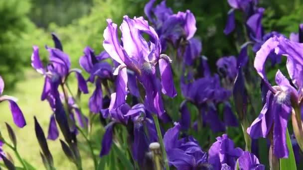 Krásné fialové květy kosatce v slunečním světle se zelenými listy, které jsou foukané do lehký vánek v létě v zahradě