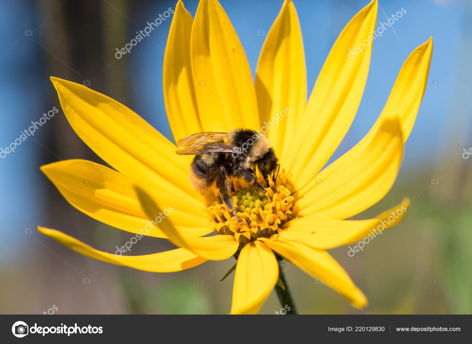 Little Bee Collects Nectar Yellow Flower Jerusalem Artichoke Summer