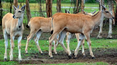 Common elands, also known as the southern eland or eland antelope, is a savannah and plains antelope found in East and Southern Africa