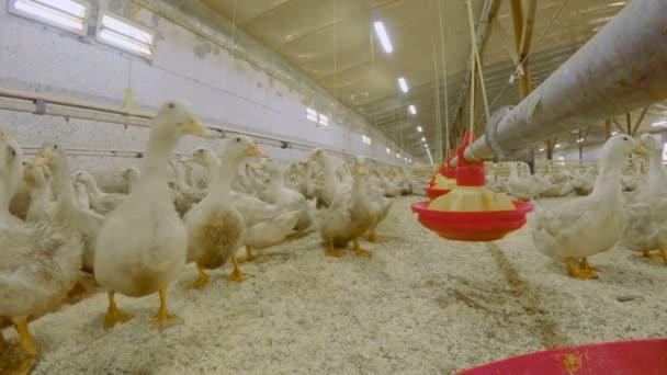 Feeding ducks at poultry farm