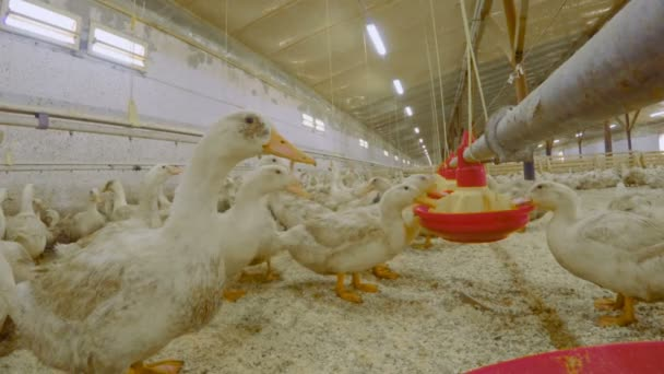 Cultivation of ducks for meat at poultry farm