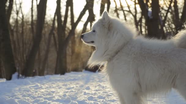 Krásný pes samojed v destinaci winter park