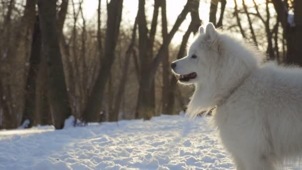 Krásné bílé samojed pes v zimě parku, pomalý pohyb