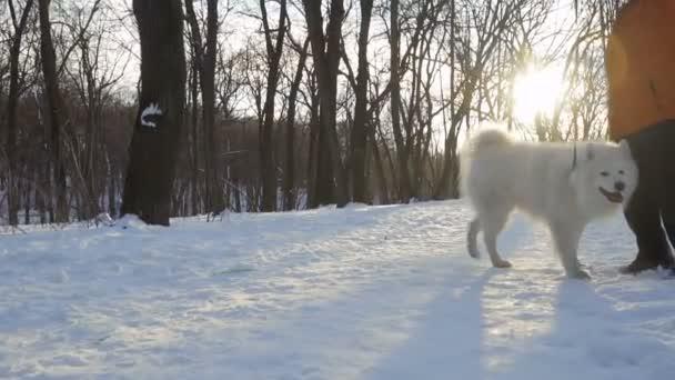 Nelze rozpoznat žena chodit s bílým nadýchané samojed pes v zimě parku