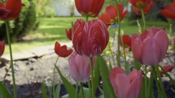 Rózsaszín tulipán a virágágyásba mozgó-ból szél. Gyönyörű nyári virágok. Közeli kép:.
