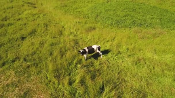 Cow at green meadow look at flying drone