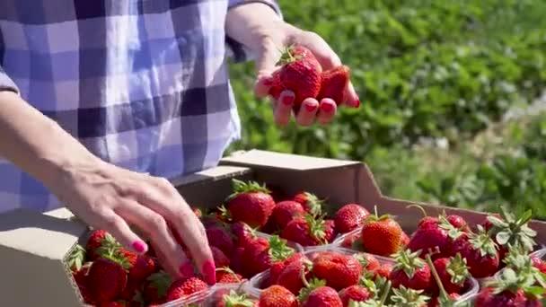 Girl picking strawberries in hand