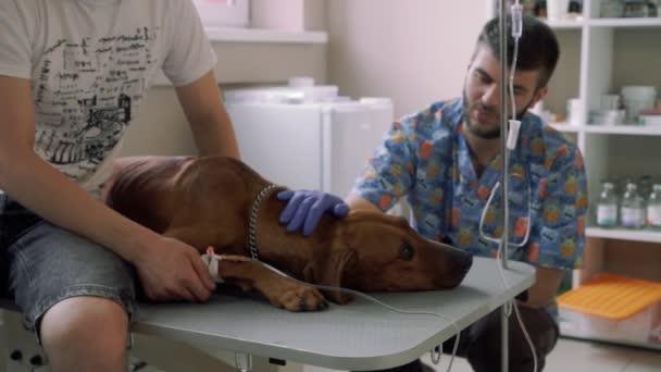 Pěkný pes nesou katetr na veterinární klinice