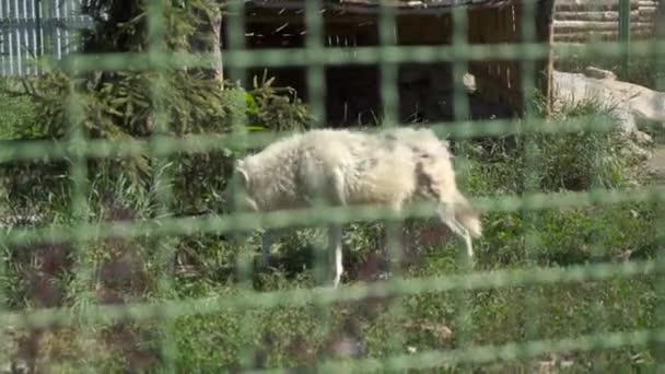 Wilden Weißen Wolf im zoo
