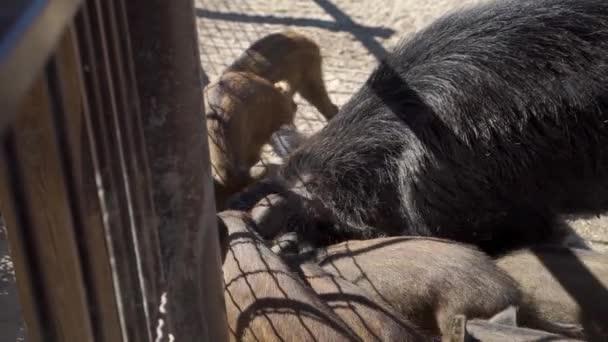 Divočák s malými prasata jíst v zoo